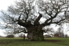 the bowthorpe oak